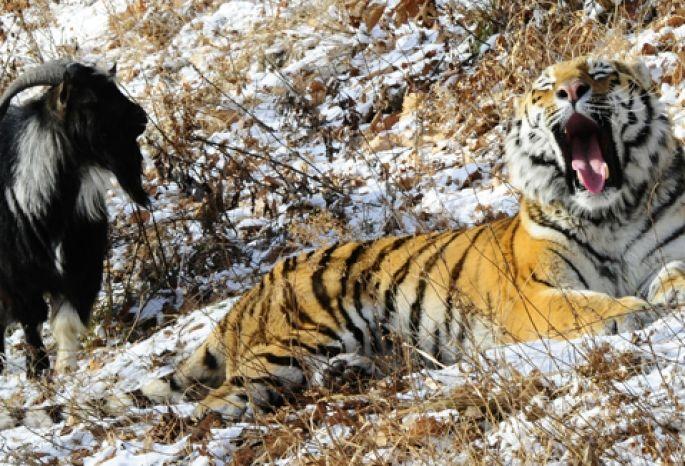 Зоолог и корреспондент Тимофей Баженов предсказал смерть тигру Амуру
