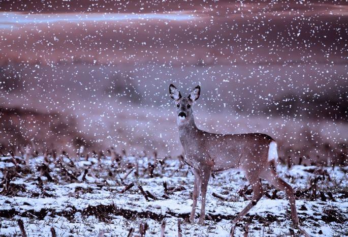 ВОмской области задержаны браконьеры, убившие 5 косуль вместо зайцев