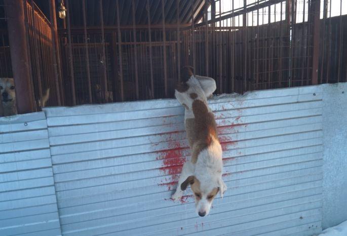 Назаборе омского «Спецавтохозяйства» пару часов висела раненая собачка