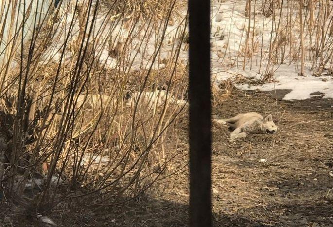 Собаки, лежащие под окнами клиники вОмске, оказались живыми