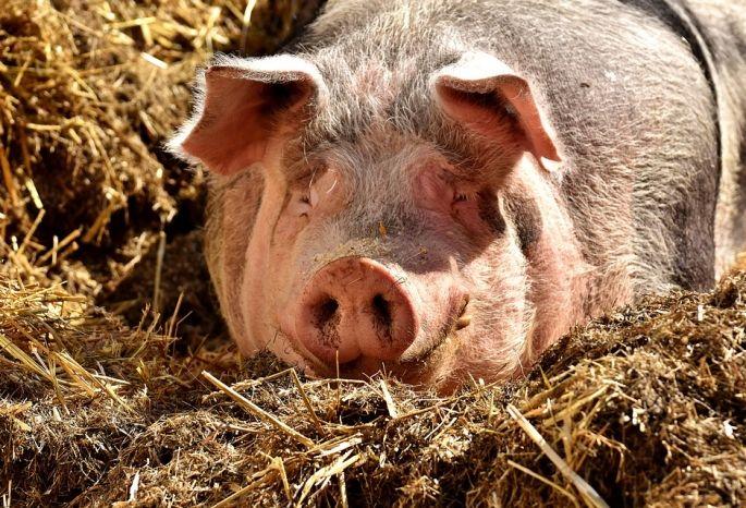 ВИркутской области снижают поголовье свиней из-за источника африканской чумы