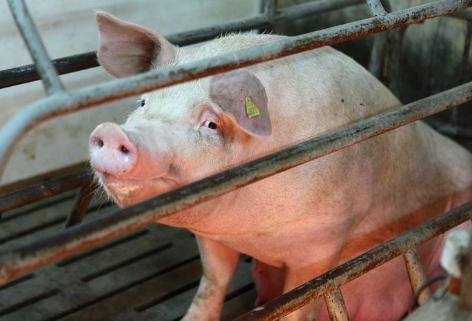 ВОмской области утвердили размер выплат запострадавших отчумы свиней