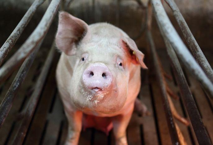 Введенный из-за африканской чумы свиней режимЧС снят вОмской области