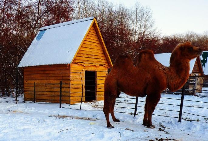 Омских львят обменяли на юного верблюда изЧелябинска