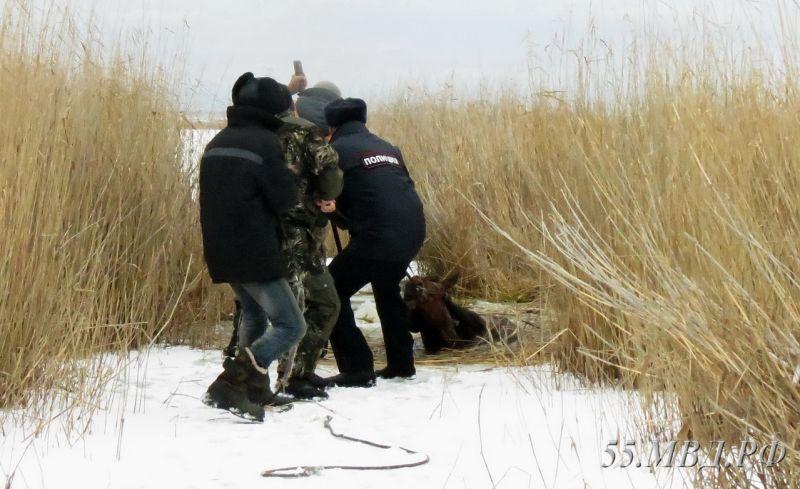 Полицейские Омской области спасли украденного жеребца изболота